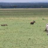 Warthog and Zebra