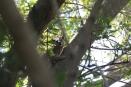 Tree Hyrax