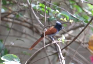 African Flycatcher