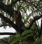 African Paradise Flycatcher dive bombing a Monkey