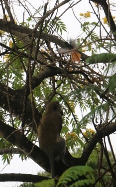 African Paradise Flycatcher mobbing Monkey