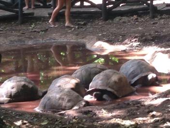 Aldabran Giant Tortoises