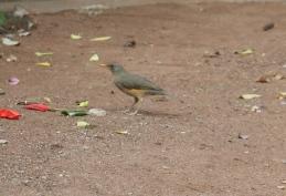 African Thrush