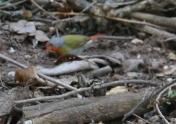 Green Winged Pytilla