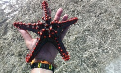 Red Knobbed Starfish