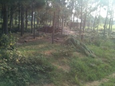 a pine forest