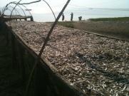 Dagaa - fish, drying in the sun