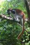 Red Colobus Monkey