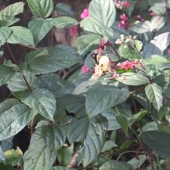 Swallowtail Butterfly 1