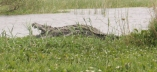 Rubondo Croc
