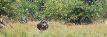 Rubondo Hippo