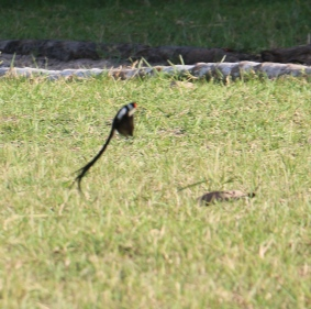 Pin-tailed Whydar