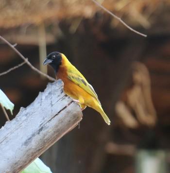 Lesser Masked Weaver