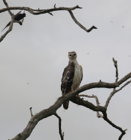 Immature Crowned Eagle