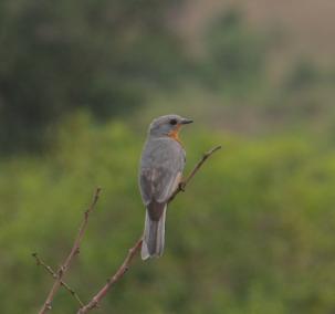Silverbird