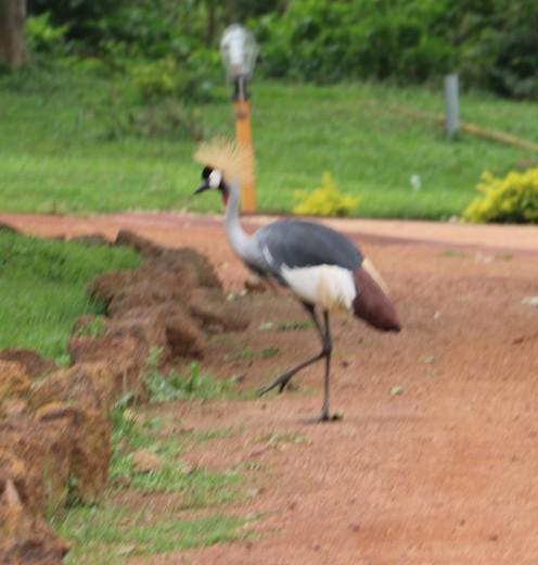 Crested Crane