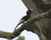 Black and White Casqued Hornbill