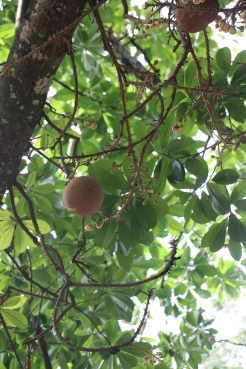 Canonn ball Tree