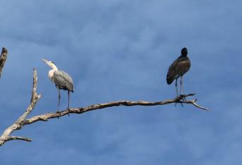 Grey Heron and Open Billed Stork