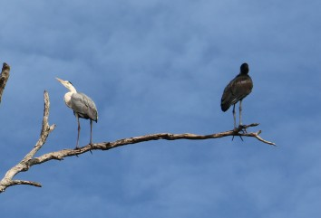 Grey Heron and Open Billed Stork