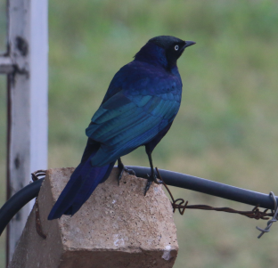 Ruppells Long Tailed Starling