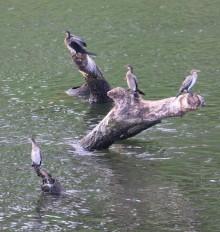 Long Tailed Cormorants