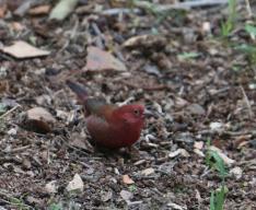 Firefinch (Red)