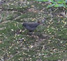 Young Red-billed Firefinch