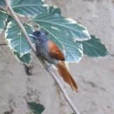 African Paradise Flycatcher (Indigo)