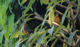 A pair of White Browed Robin Chats