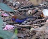 Purple Grenadier
