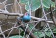 Red Cheeked Cordonbleu (Blue)