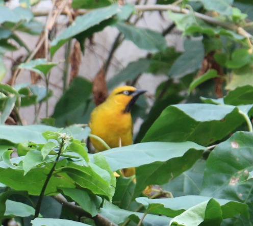 Spectacled Weaver