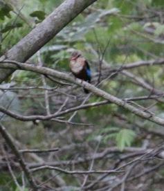 Grey Headed Kingfisher