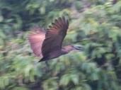Hamerkop in flight