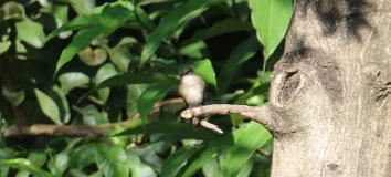 Swamp Flycatcher