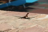 Mwanza Flat- Headed Agama Lizard