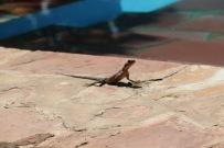 Mwanza Flat- Headed Agama Lizard