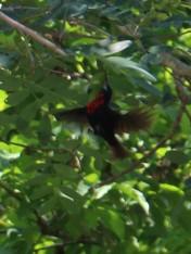 Scarlet-chested Sunbird feeding