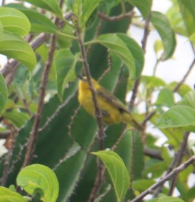 Slender Billed Weaver