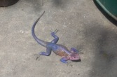 Mwanza Flat-Headed Agama Lizard