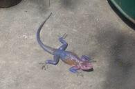 Mwanza Flat-Headed Agama Lizard