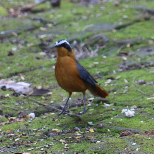 White Browed Robin Chat (Orange)