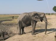 Chobe Elephant