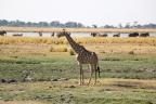 Chobe Giraffe