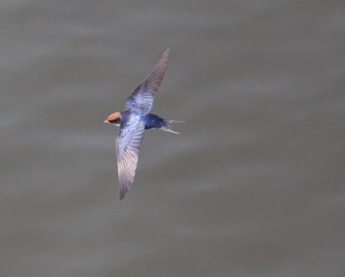 Swallow in flight