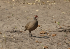Unknown Fowl
