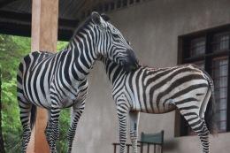 Jakobsen Zebra