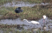 Black Heron, African Spoonbill and Intermediate Egret