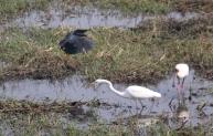 Black Heron, African Spoonbill and Intermediate Egret